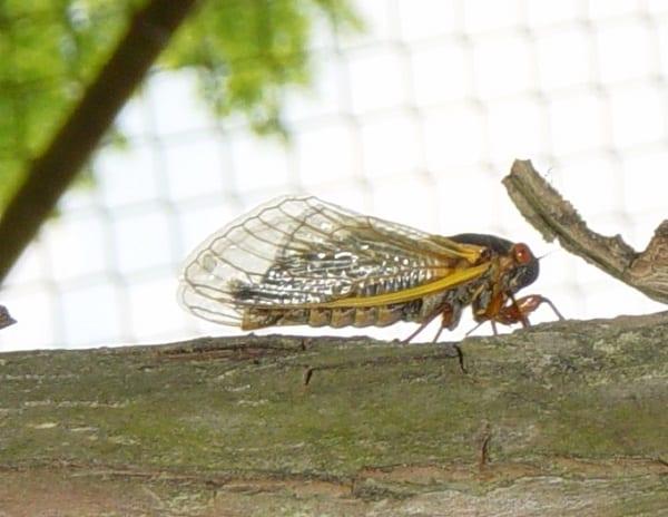 Brood X 17-Year Cicada