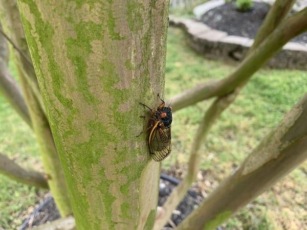 Brood X Cicada Maryland